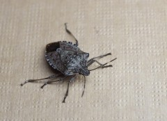 Brown_Marmorated_Stink_Bug_New Measures for Imports to Australia