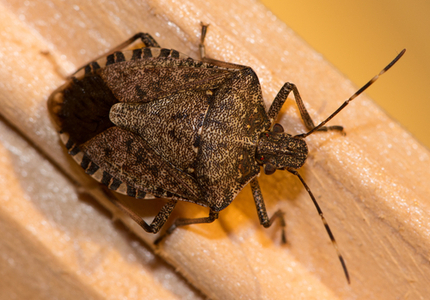 Brown_Marmorated_Stink_Bug_Extended Inspections for Sea Freight Imports from Emerging Countries to Australia
