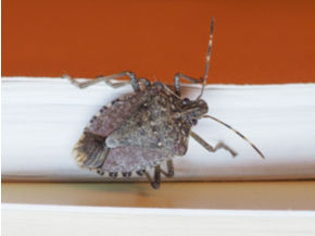 Brown Marmorated Stink Bug (BMSB) on a book